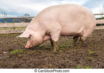 Pig on a farm - Side view of a big pig on a farm