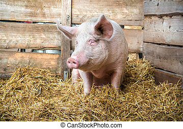 Pig on hay and straw at pig breeding farm