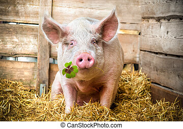 Lucky Pig - Pig on hay and straw green shamrock in snout
