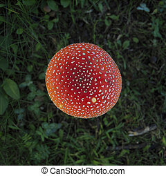 Fly Agaric from high angle view