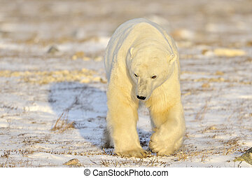 Polar bear walking on tundra