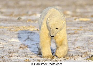 polarny, Niedźwiedź, pieszy, tundra