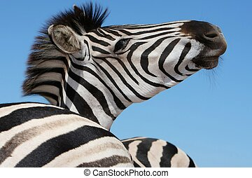 Zebra Portrait - Portrait of a handsome Burchells zebra...