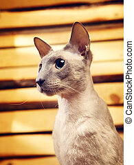 Peterbald Cat on Hayloft - cute shorthair oriental cat,...