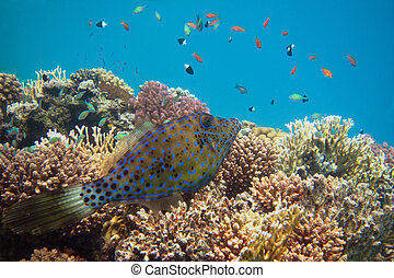 hone fish at reef - blue hone fish in colorful coral reef...