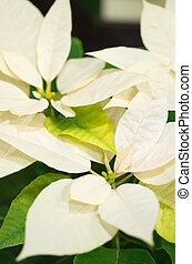 white and green poinsettia - this photo is taken in Kyoto