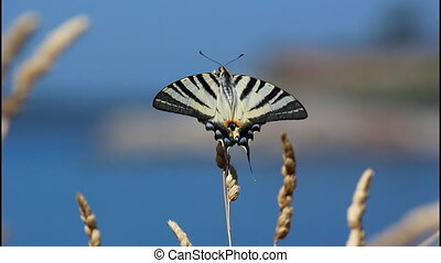 Swallowtail butterfly, sea - Swallowtail butterfly, black...