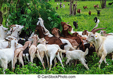 Goat farm - Grazing goats and green plants.