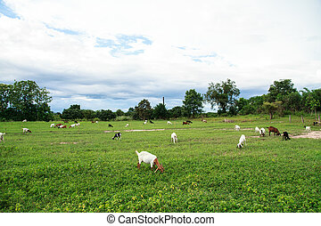 Goat farm - Grazing goats and green plants