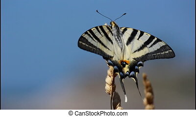 Swallowtail butterfly, black and white, Papilionidae, close...