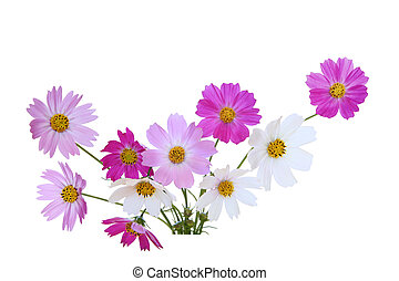 Sonata Cosmos Flower - Sonata cosmos flowers isolated on...