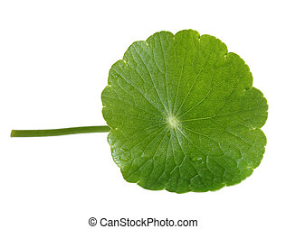 Penny Wort - Fresh Penny Wort leaf isolated on white...