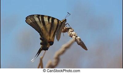 Swallowtail butterfly, side - Swallowtail butterfly, black...