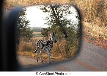 Zebra on safari - Single zebra standing next to the road in...