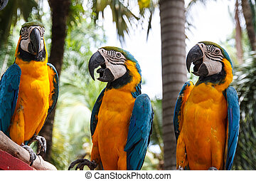 Parrot macaw - Macaw parrots enjoy playing, Nong Nooch...