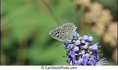 Blue butterfly - Light blue orange butterfly