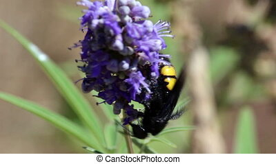 Large wasp, violet flower