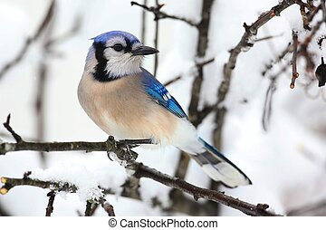 Blue Jay In Snow - Blue Jay (corvid cyanocitta) and an apple...