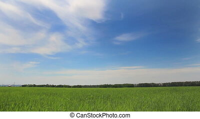 green field with young wheat under blue sky - dolly shot