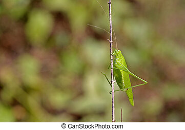 katydid is staying on the small plant branch
