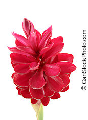 beautiful tropical red ginger flower on isolate white...