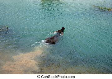 buffles, natation