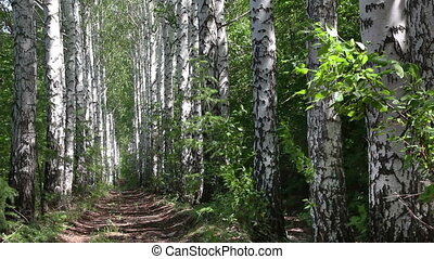 summer birch woods alley in Russia