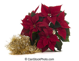 poinsettia  is a traditonal plant with christmas