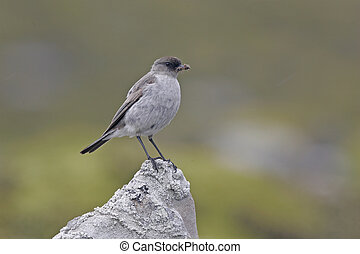 Dark-faced ground tyrant, Muscisaxicola macloviana, single...