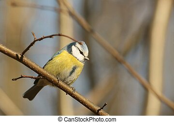 Blue tit (Parus caeruleus) sitting on the branch in the...