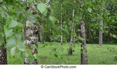 birch tree branch trunk - Closeup of birch tree trunks and...