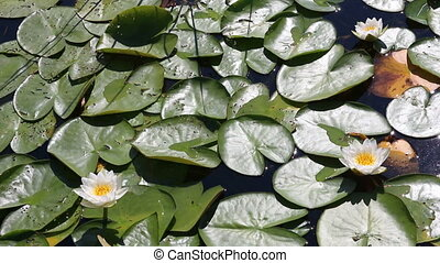 water-lily flowers and leaves on pond