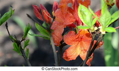 rhododendron flower dew - Rhododendron rosebay orange flower...
