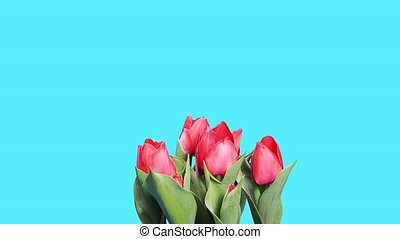 Blooming red tulips flower