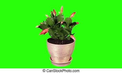 Epiphytic cactus. Red schlumbergera flower buds green...