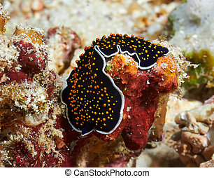 Gold dotted flatworm
