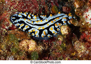 Varicose wart slug Phyllidia varicosa Red Sea, Egypt