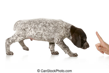 bad puppy - german shorthaired pointer being scolded...