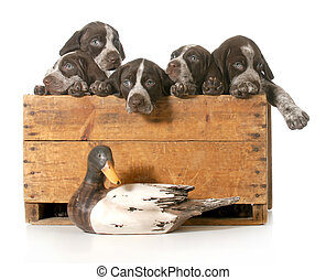 hunting dogs - litter of german shorthaired pointer puppies...