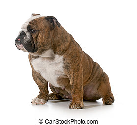 bulldog - brindle english bulldog female sitting isolated on...