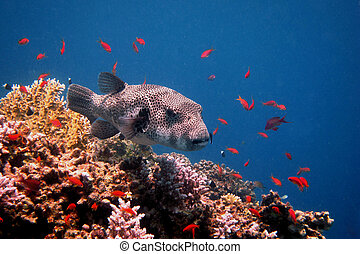 giant blowfish floating in colorful coral in the sea