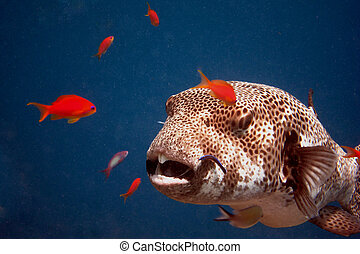 giant blowfish great view in the blue sea close