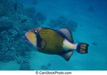 giant triggerfish floating in the blue sea pushers in egypt