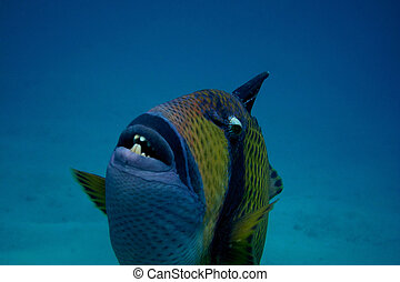 giant triggerfish close - giant triggerfish very close to...