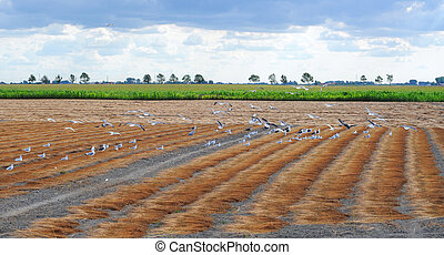 birds pecking ripe flax - Birds pecking a field of...