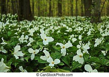 Spring Trillium - Gorgeous spring trillium carpet the forest...