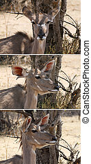 Picture Series of Kudu Ear Positions - Three Picture Series...
