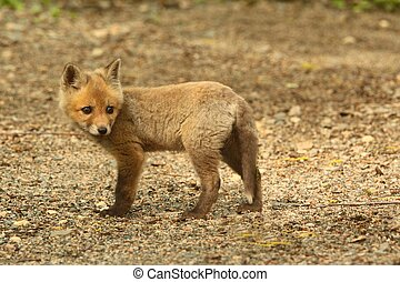 Red Fox Kit (vulpes) playing near the den