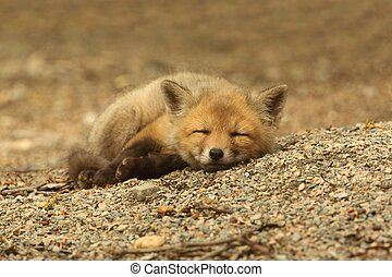 Red Fox Kit Sleeping - Red Fox Kit vulpes sleeping near the...
