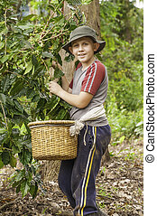 Boy Picking Coffee